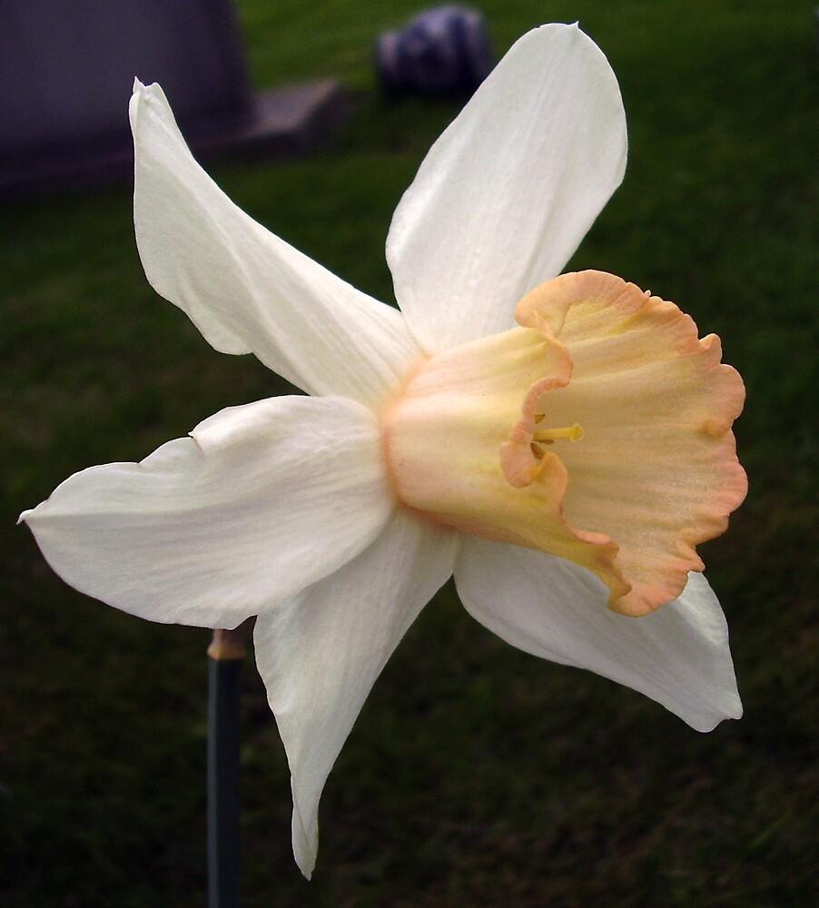 Pink Cyclamineus Daffodil by tonymm6491