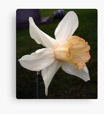 Pink Cyclamineus Daffodil Canvas Print
