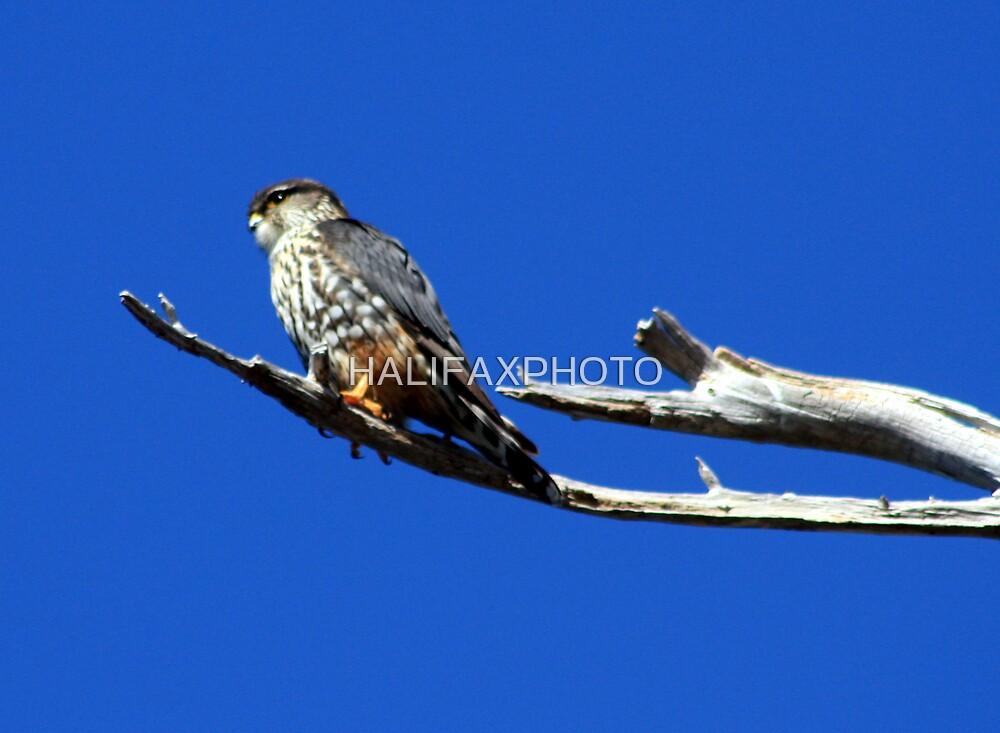 Hawk by HALIFAXPHOTO