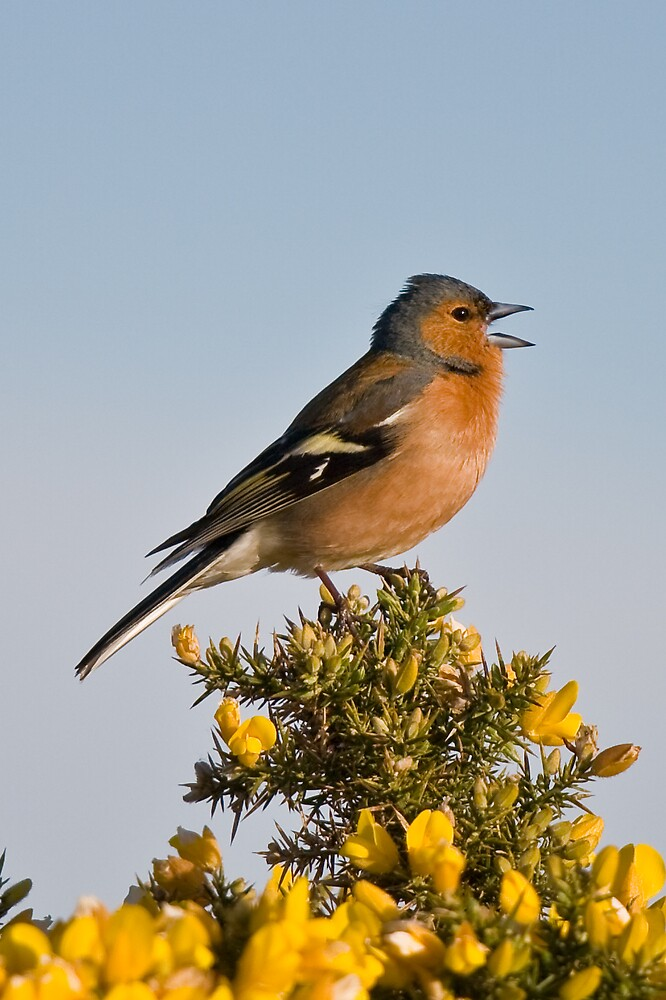Chaffinch by Stephen Morhall