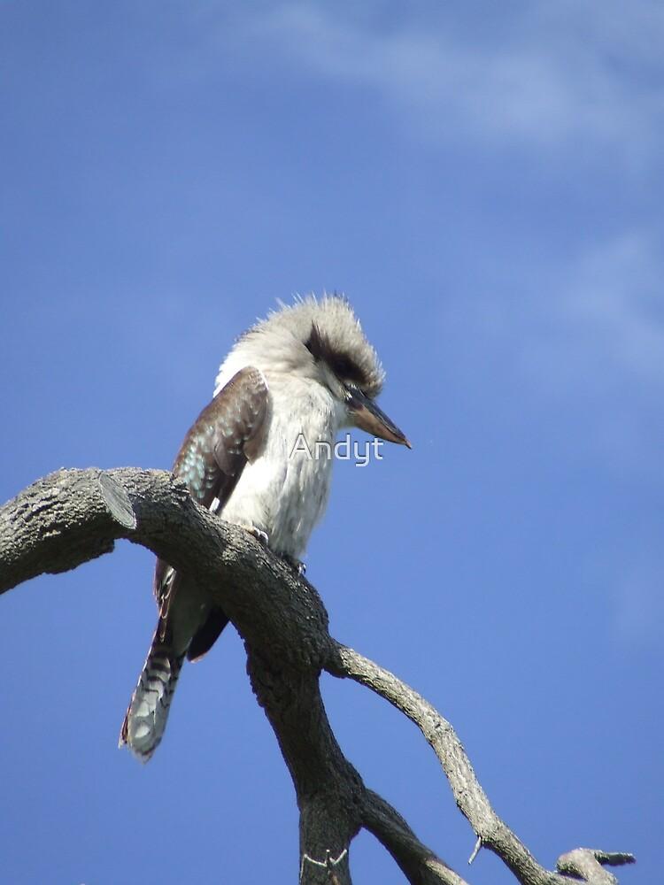 Kookaburra by Andyt