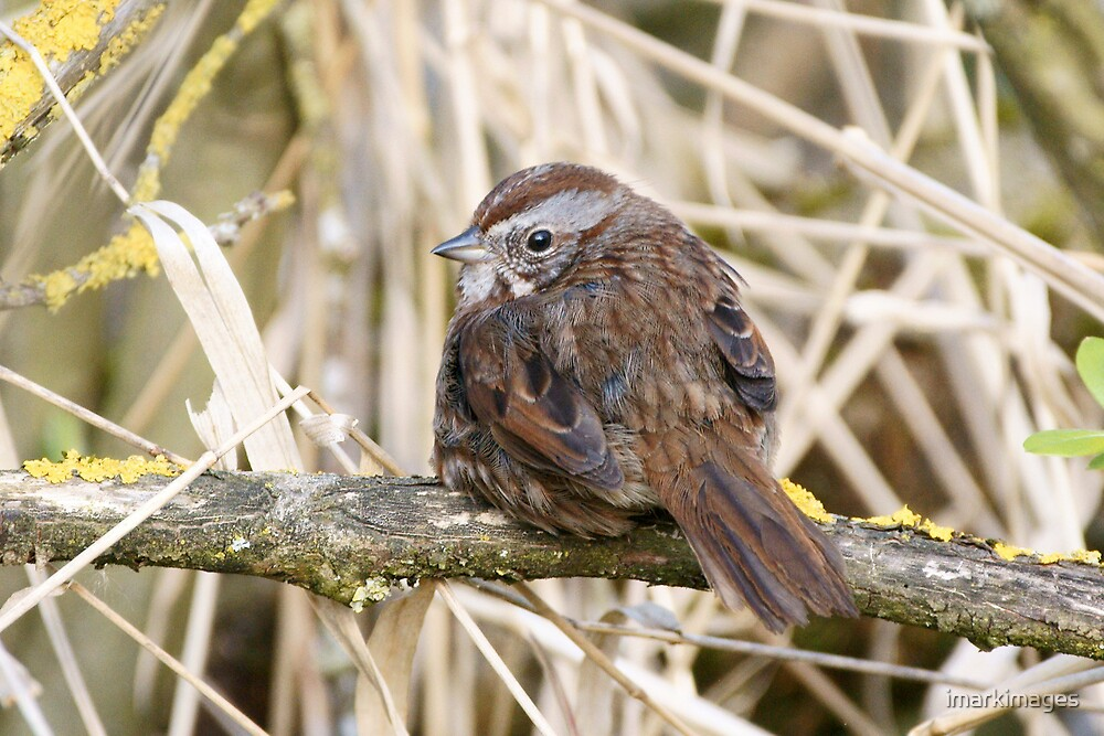 Song Sparrow by imarkimages