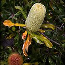 ~ Banksia ~  by Leeo