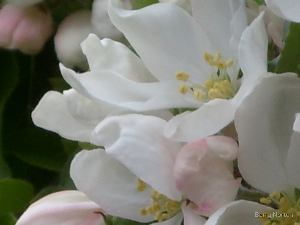 Apple Blossom by Barry Norton