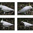 Birdie dance by Vic Cross