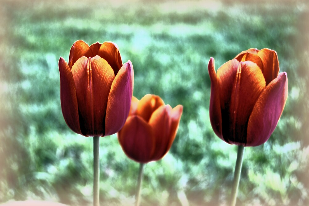 Tulip by Dave Chafin Photography