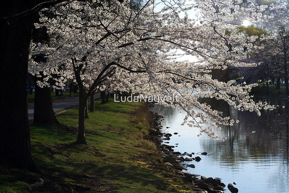 Cherry Blossom  by LudaNayvelt