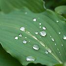 Raindrops on hosta leaf by natalies