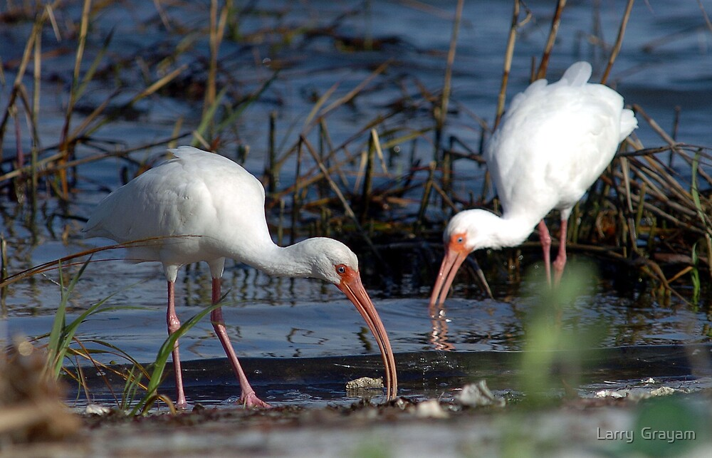 Feeding Ibis's by Larry  Grayam