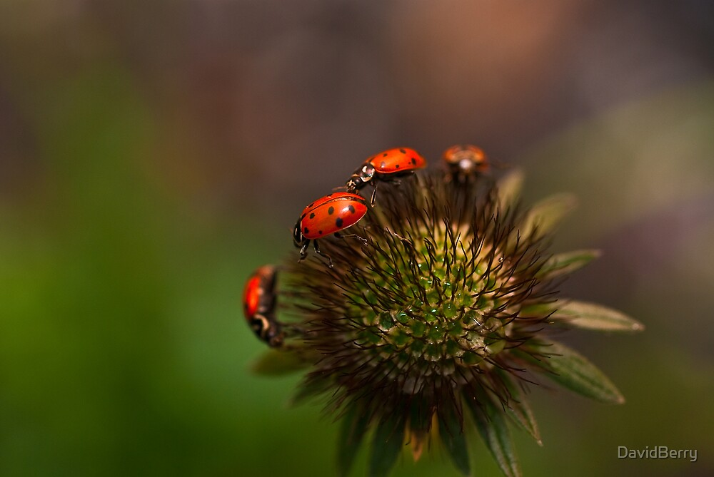 Ladybug March by DavidBerry