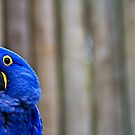 Blue Macaw by Shannon Beauford