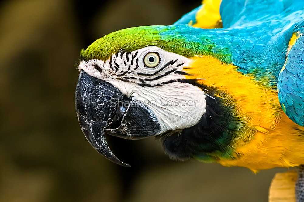 Blue & Gold Macaw by Shannon Beauford