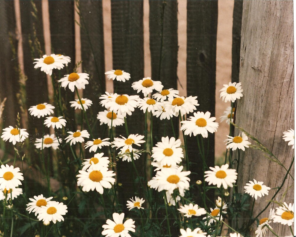 Fenced in Daisies by rebuhman