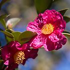 Camelia by indiafrank
