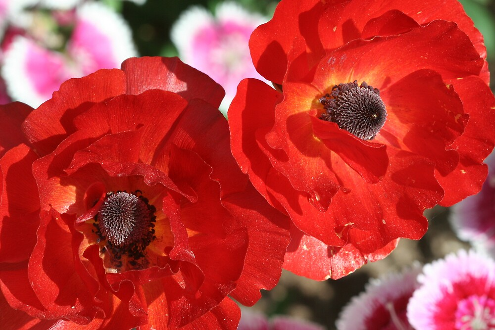 Two Poppies by noffi