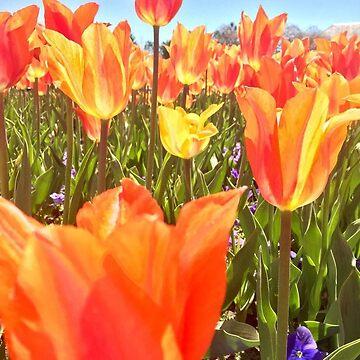 orange tulips  by cmoartist2012
