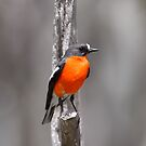 Flame Robin  by Candy Jubb