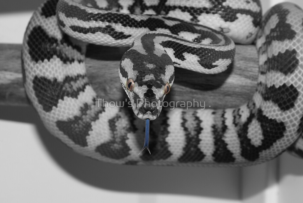 Darwin Carpet Python by Thow's Photography .