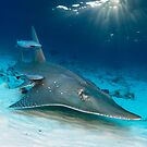 Whitespotted Guitarfish by Norbert Probst