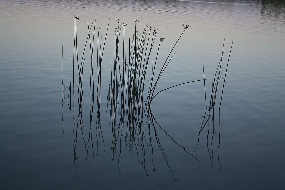 Reeds of Canberra by Simonbeasley
