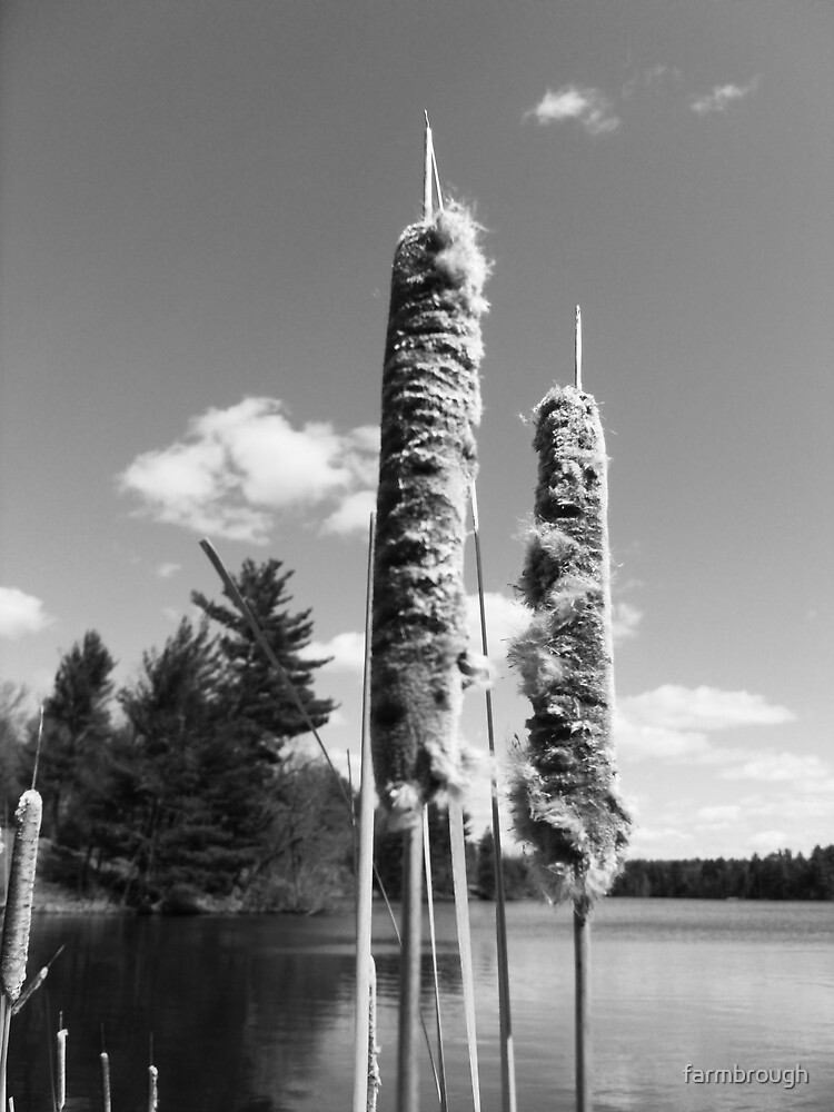 Bullrushes by farmbrough