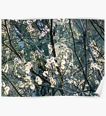 Salix Blossoms and Light Poster