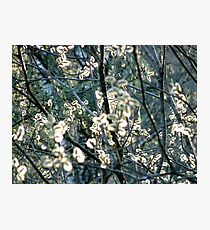 Salix Blossoms and Light Photographic Print