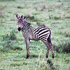Tansania. Ngorongoro-Schutzgebiet. Baby Zebra. von vadim19