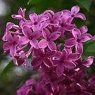 Lilacs by Lyle Hatch