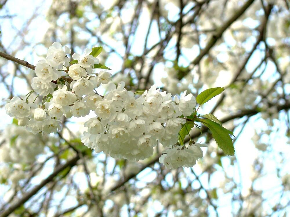 White blossom by Zoeiona