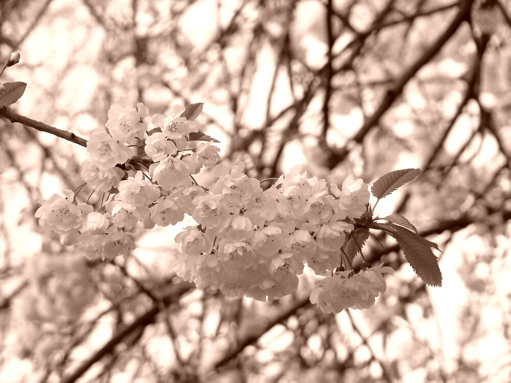 Blossom in sepia by Zoeiona