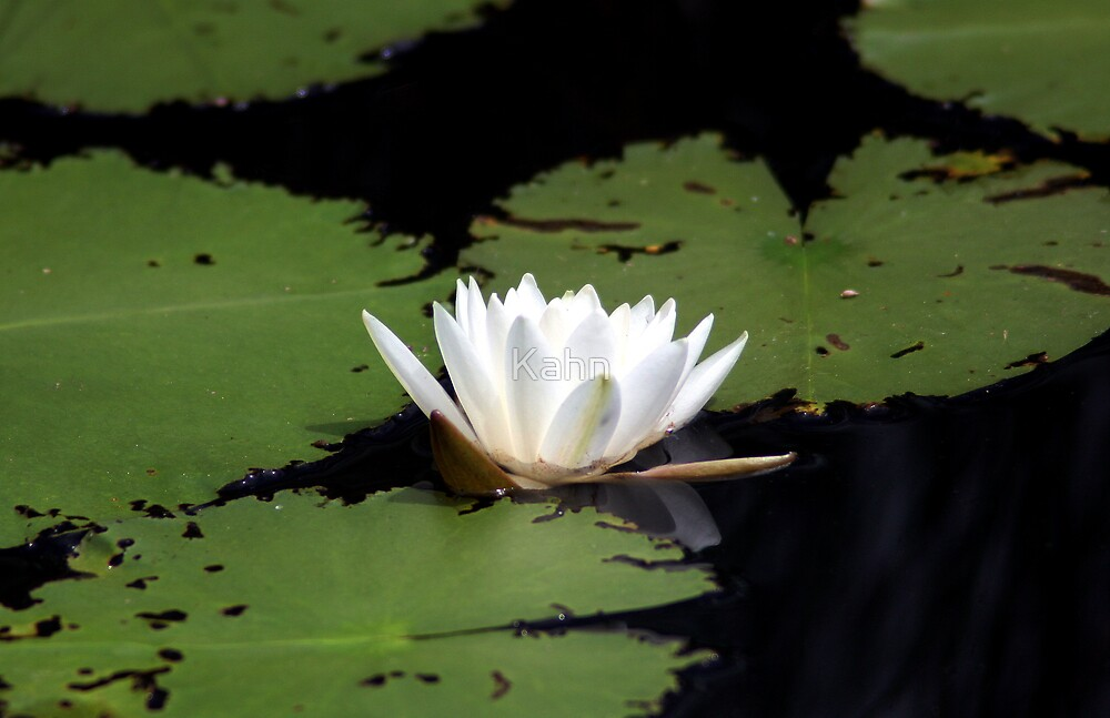 Water Lily by Kahn