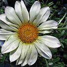 Big Daisy by jackitec