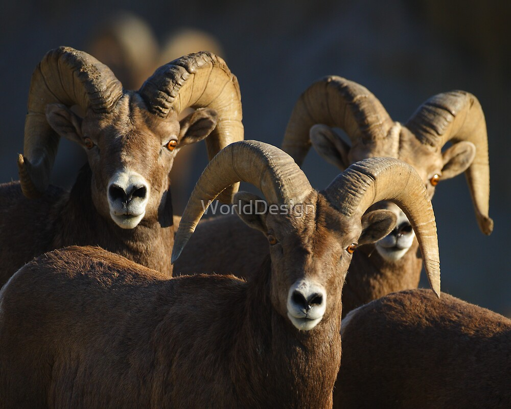 A Group of Rams by WorldDesign