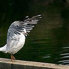 The Karate Gull prepares...... by Peter Doré