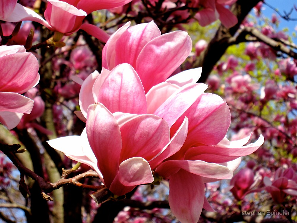 Magnolia 2 by stephen Spindler