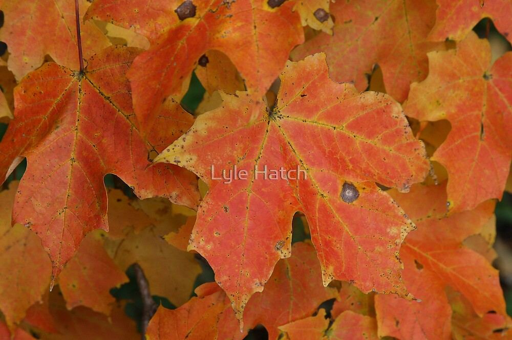 Maples! by Lyle Hatch