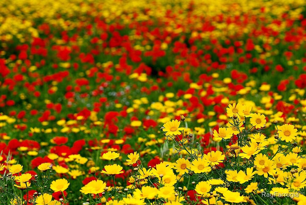 Mixture Of Crown Daisy's & Poppy's by RayFarrugia