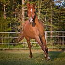 Arabian Gelding by Sharon Morris