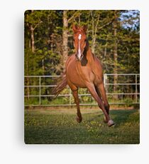 Arabian Gelding Canvas Print