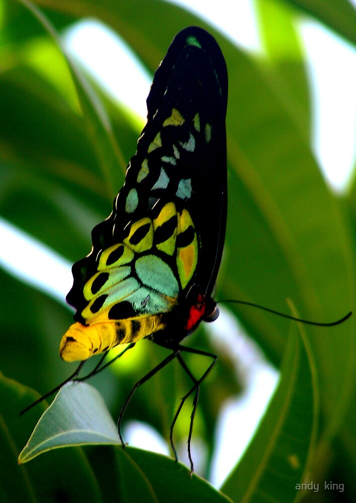 Birdwing 2 by andy  king