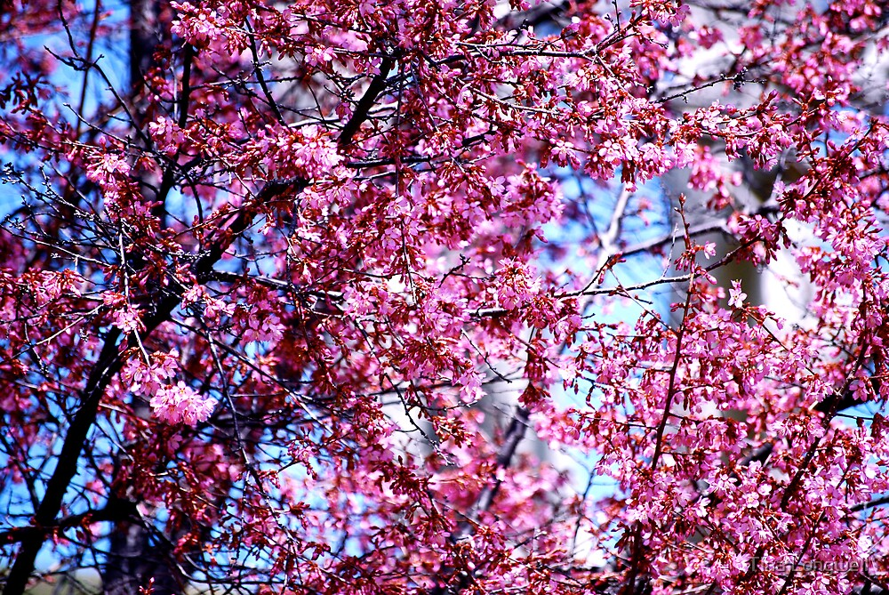 Pink Blossoms by Tina Longwell