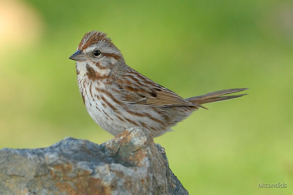 Song Sparrow by okcandids