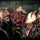 Old Roses by trbrg