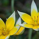 Tulip Twins by Karen K Smith