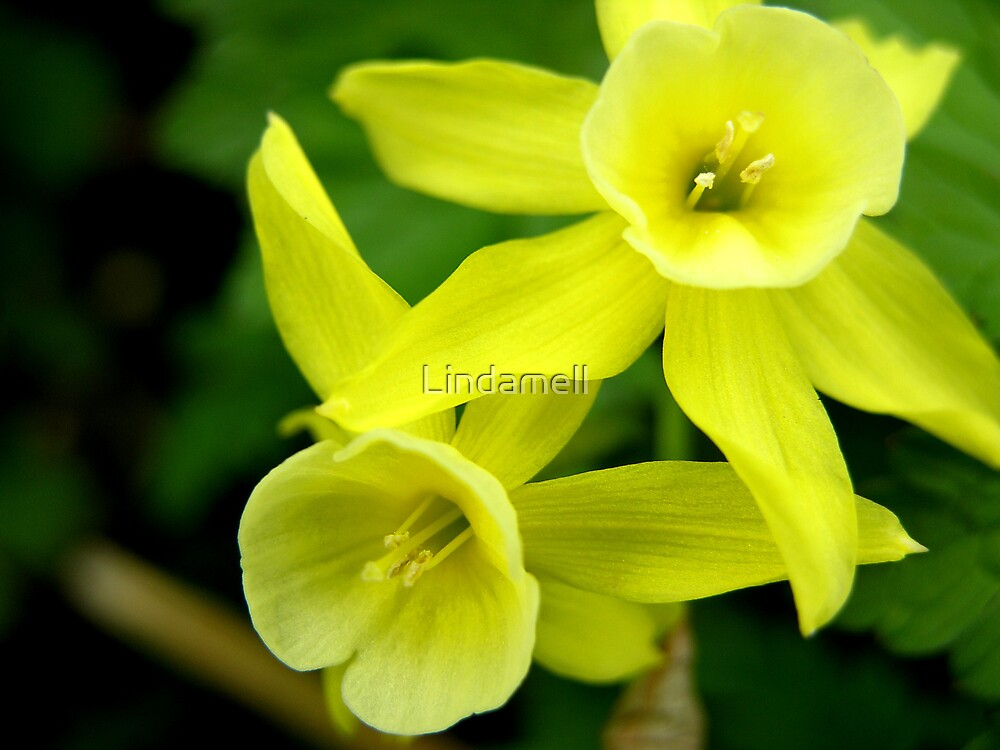 Miniature Daffodils by Lindamell