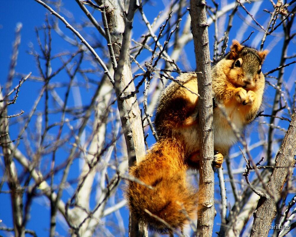 Squirrel  by marilynz