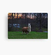 Furry farm animal Canvas Print
