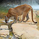 Cougar by GailD