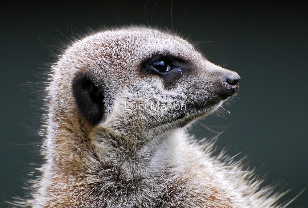 Meerkat by Luci Mahon